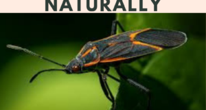 How to Get Rid of Boxelder Bugs naturally