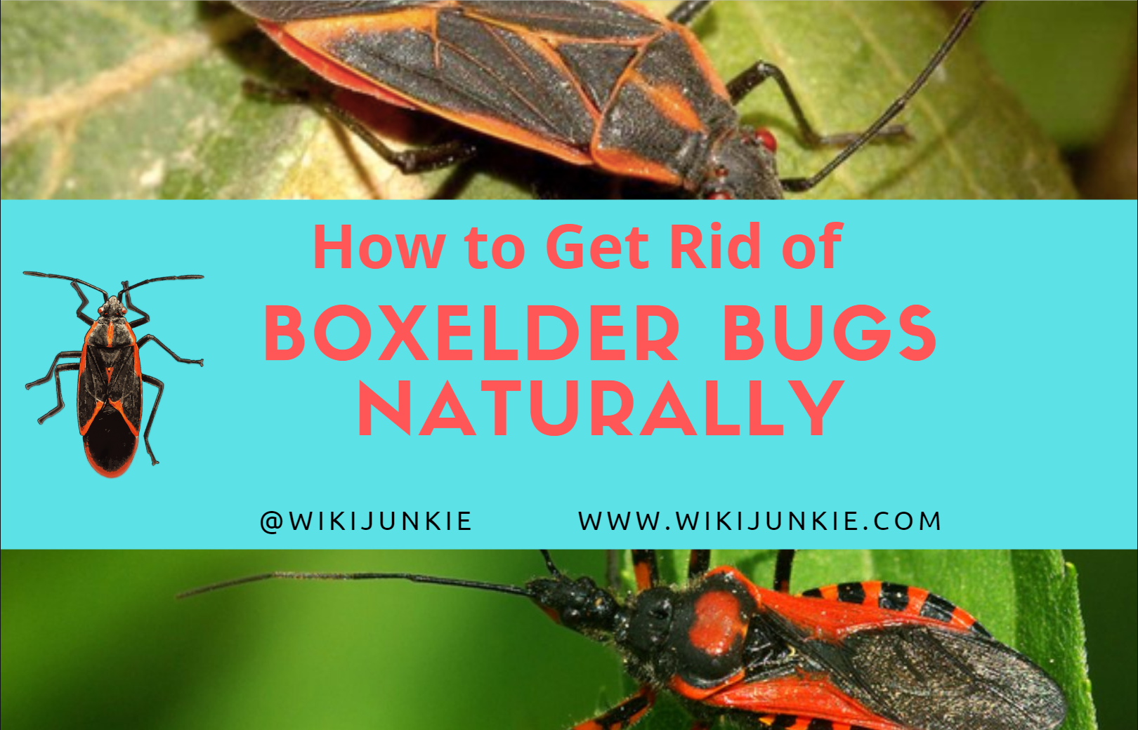 Photo of How to Get Rid of Boxelder Bugs Naturally