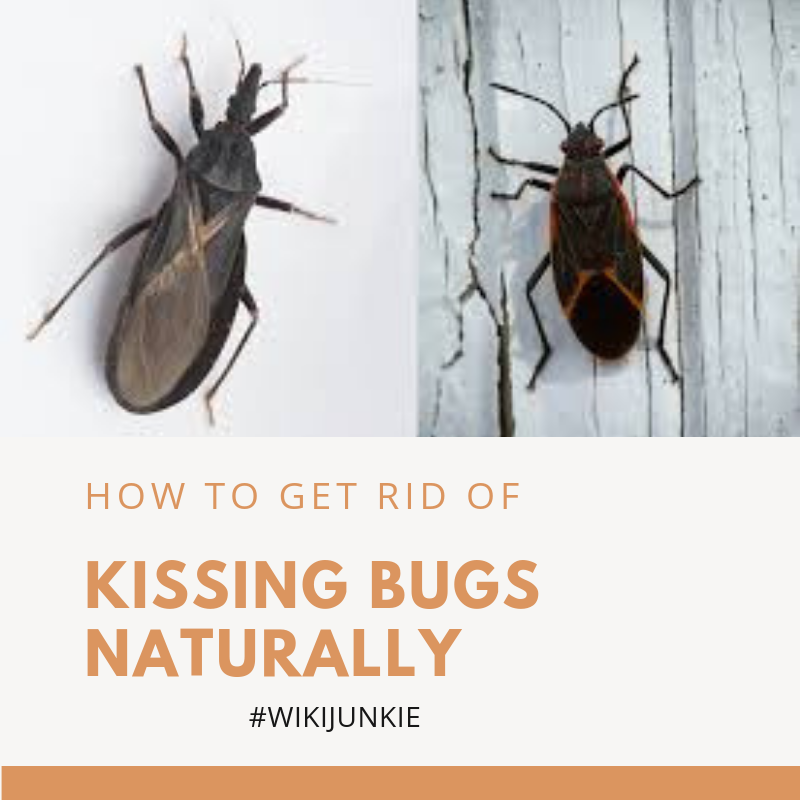 How to Get Rid of Kissing Bugs Naturally