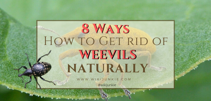 Photo of 8 Ways How to Get Rid of Weevils Naturally